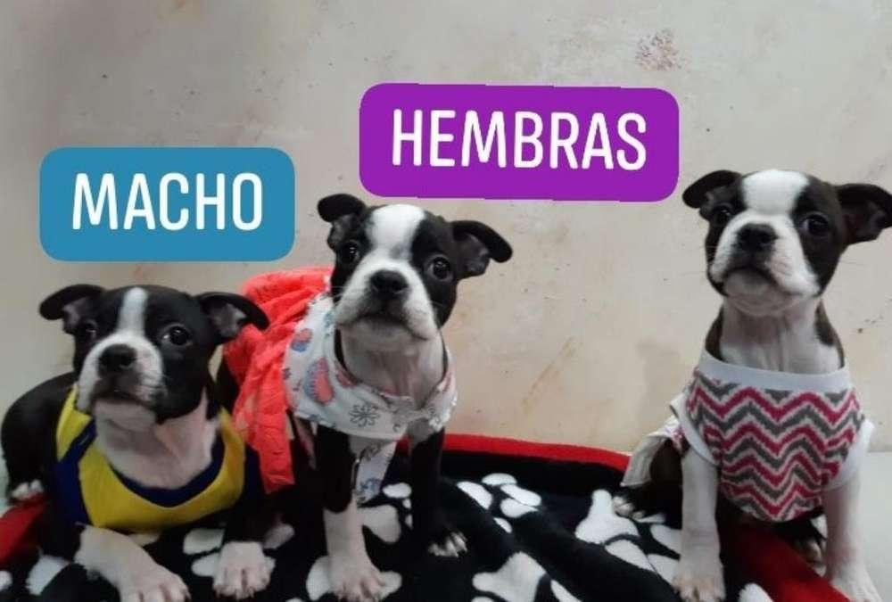 Hermosos Cachorros Boston <strong>terrier</strong>