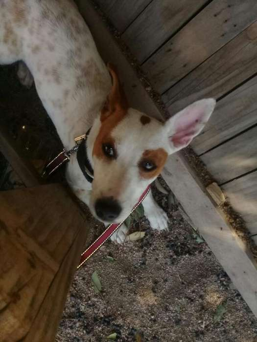 Cachorro Jack Russell <strong>terrier</strong>