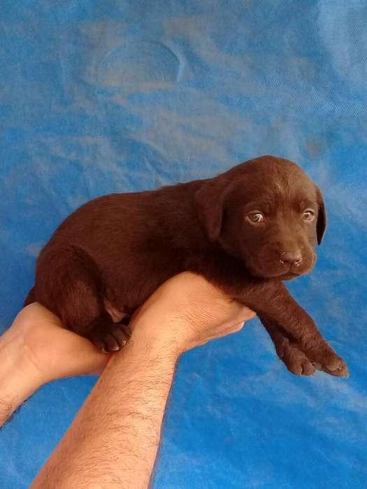 Vendo Cachorros Labradores