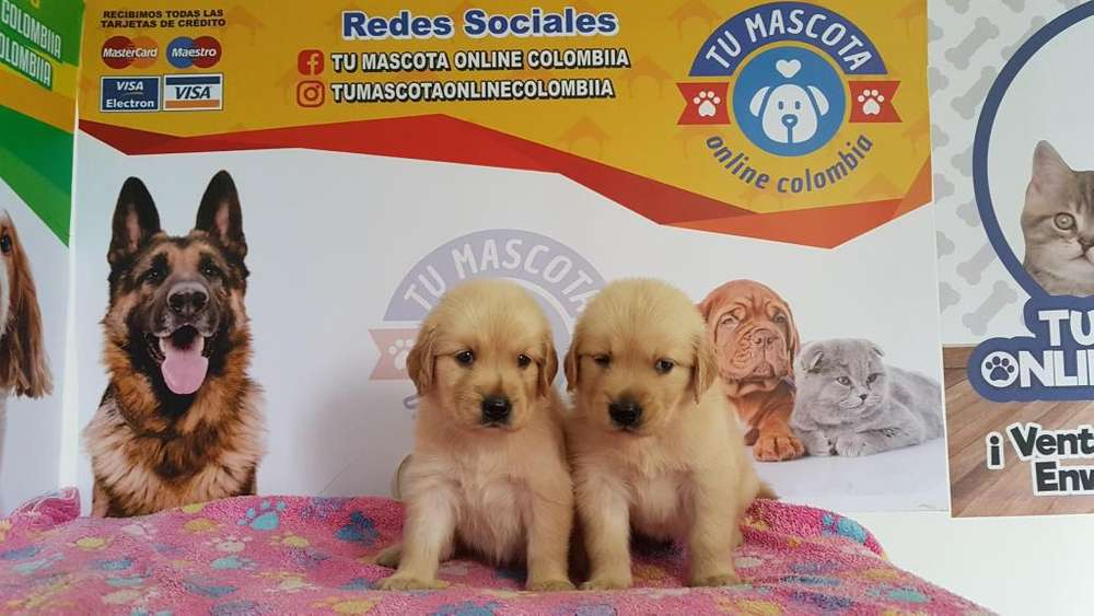 Bebes Golden Retriver Divinos