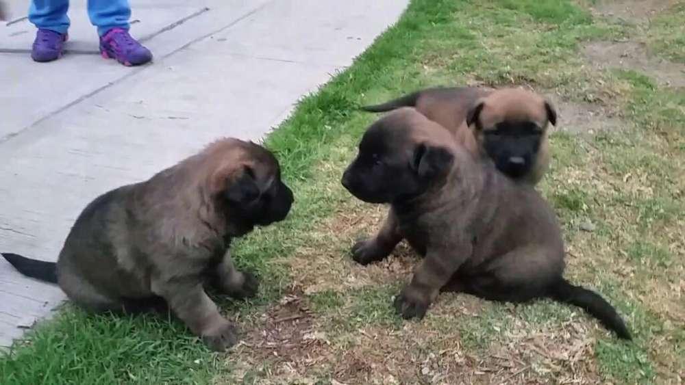 Vendo Cachorro Belga Macho