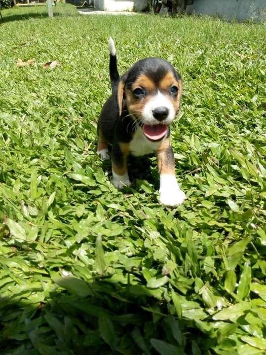 activos <strong>beagle</strong> mini