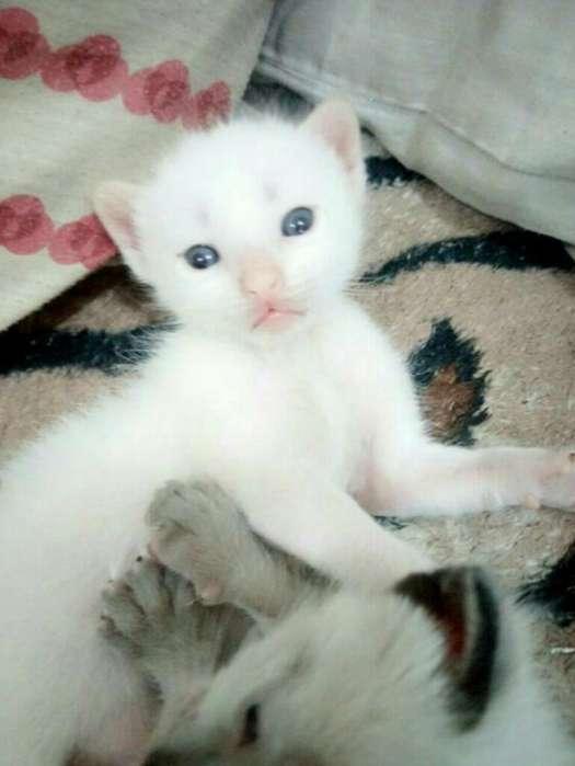Siames Albino Macho de Padre Extranjeros