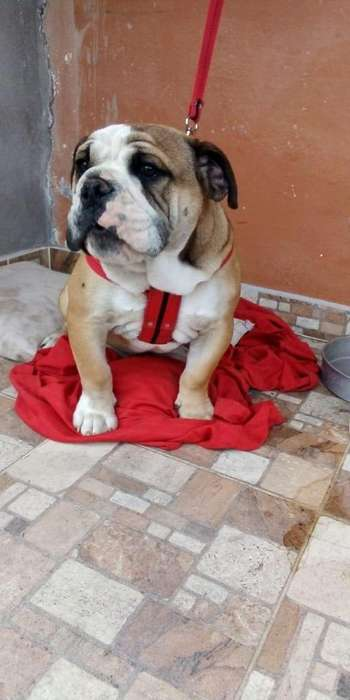 Cachorro <strong>bulldog</strong> Ingles tricolor
