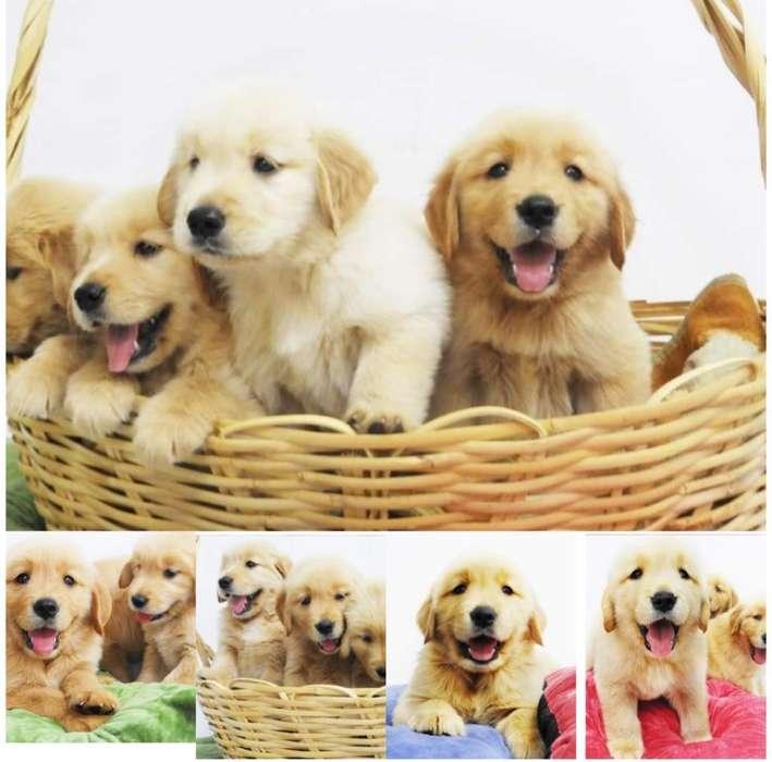 Cachorros Raza Golden Retriever