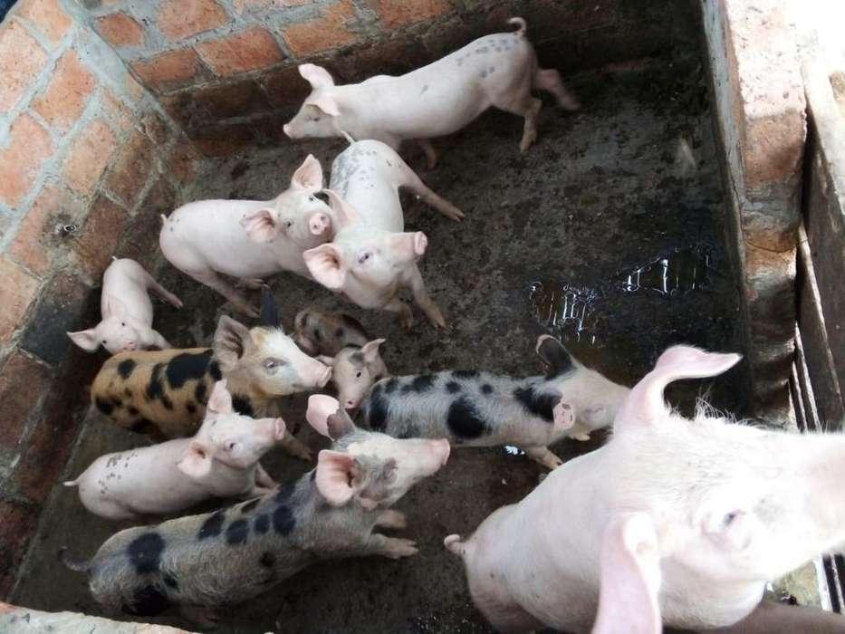 Venta Cerdos Lechones de 2 Meses Y Medio