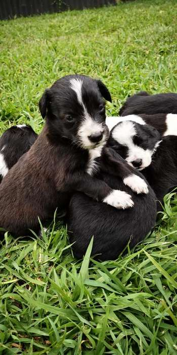 Border Collie cachoros