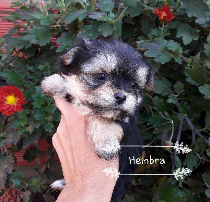 Cachorros de Pekines Y Yorkshire Terrier