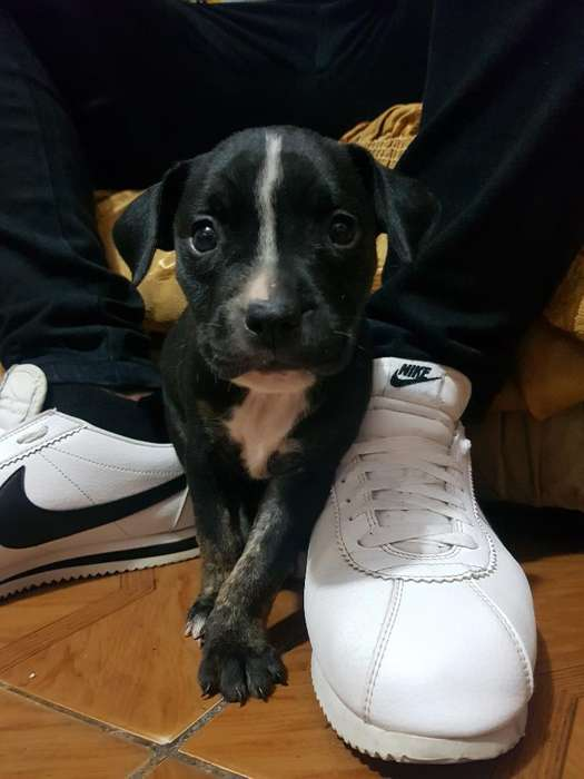 Se Vende Pitbull (hembrita)
