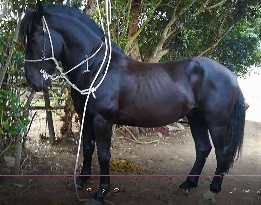Vendo caballos, yeguas, potras y potros de paso fino y potros trochadores sin papeles