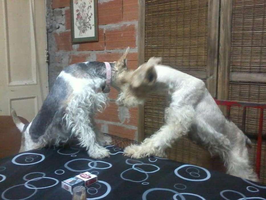 adopcion fox terrier adulto