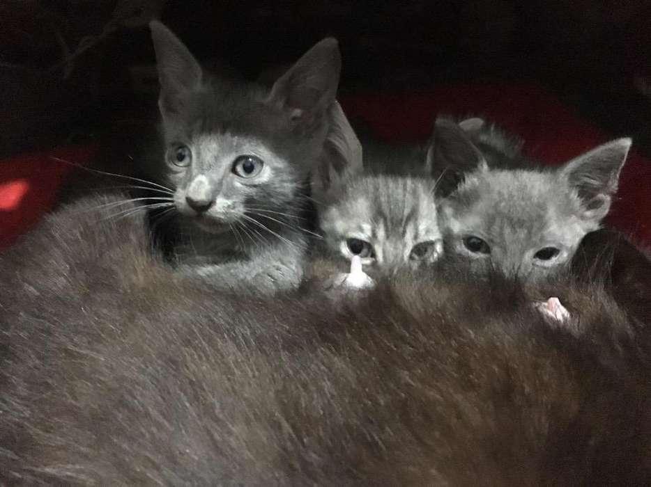 Gatitos en <strong>adopcion</strong>