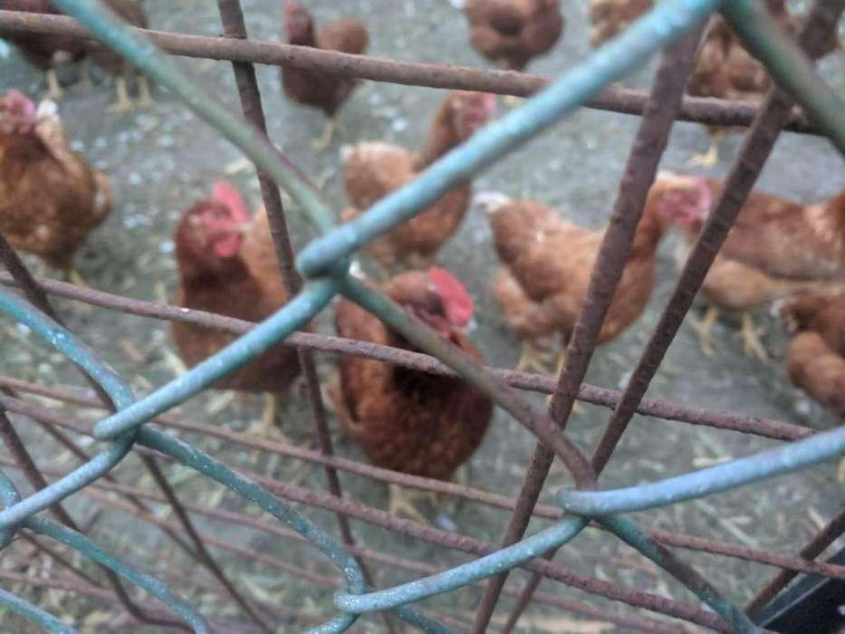 Vendo <strong>gallinas</strong> ponedoras