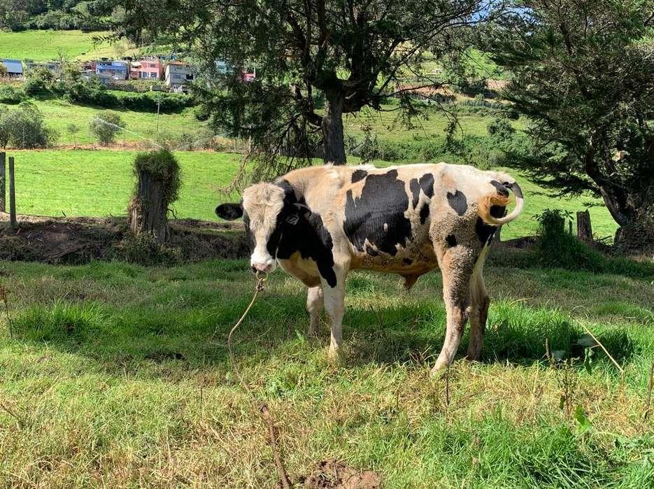 Vendo Toro Holstein con Pedigree
