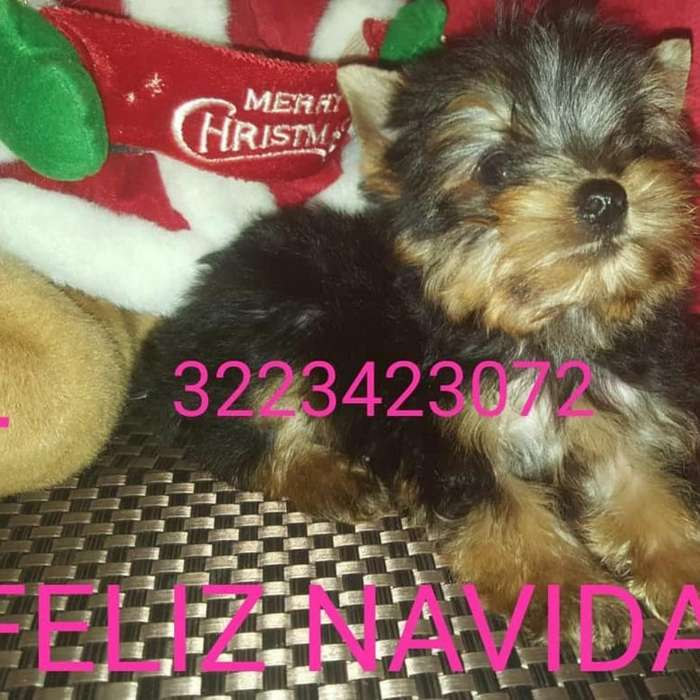 Yorkshire Terrier Hermoso