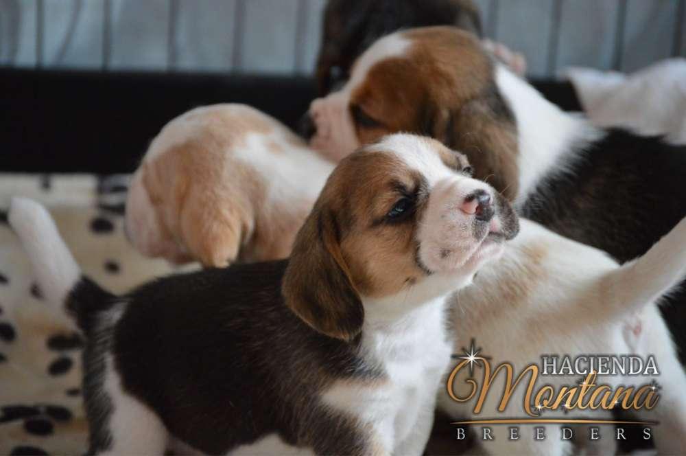 CACHORROS <strong>beagle</strong> TRICOLOR EN VENTA MANIZALES