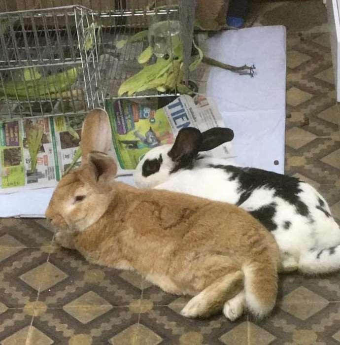 Conejos Gigante Nueva Zelanda 3182287984
