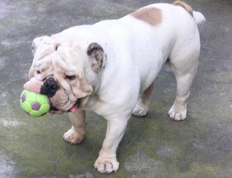 Busca Novia Bulldog Ingles
