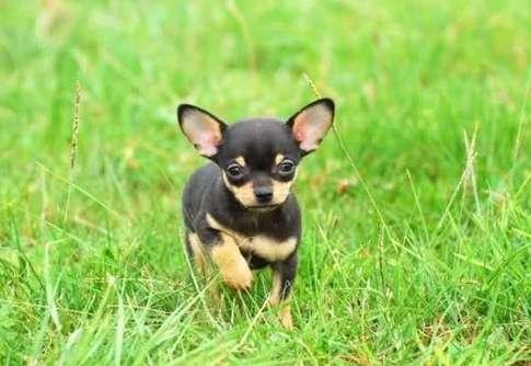 Miniatura Cachorro Chihuahua De Pedigree Minitoy