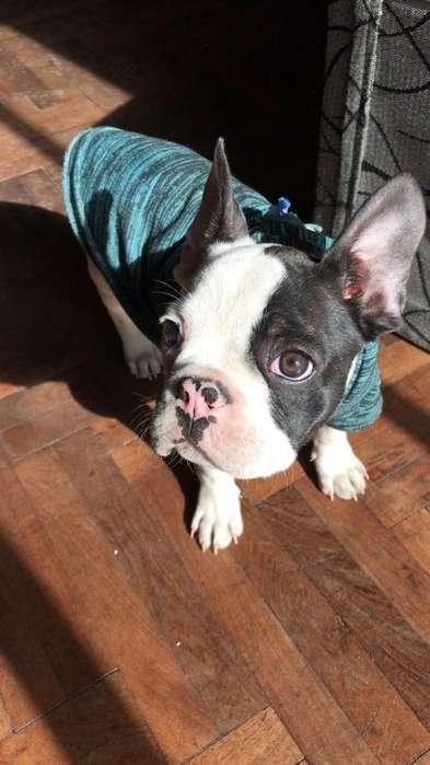 Bulldog Frances Hembrita 1 Año Y 4 Meses