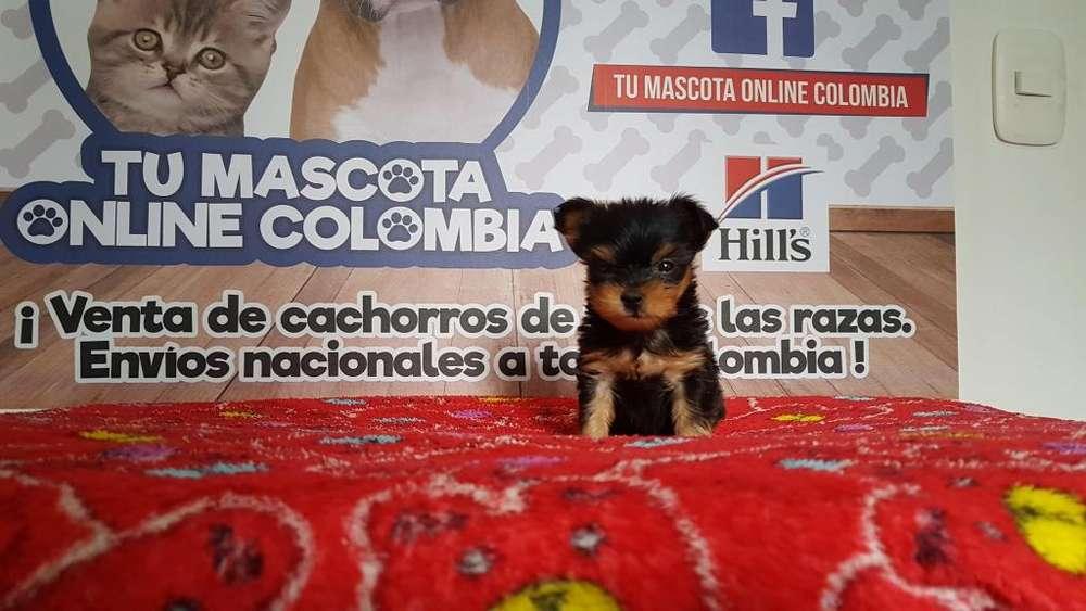 Alta Gama yorkshire Terrier Excelente genetica