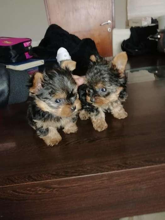 hembras y machos yorkshire terrier