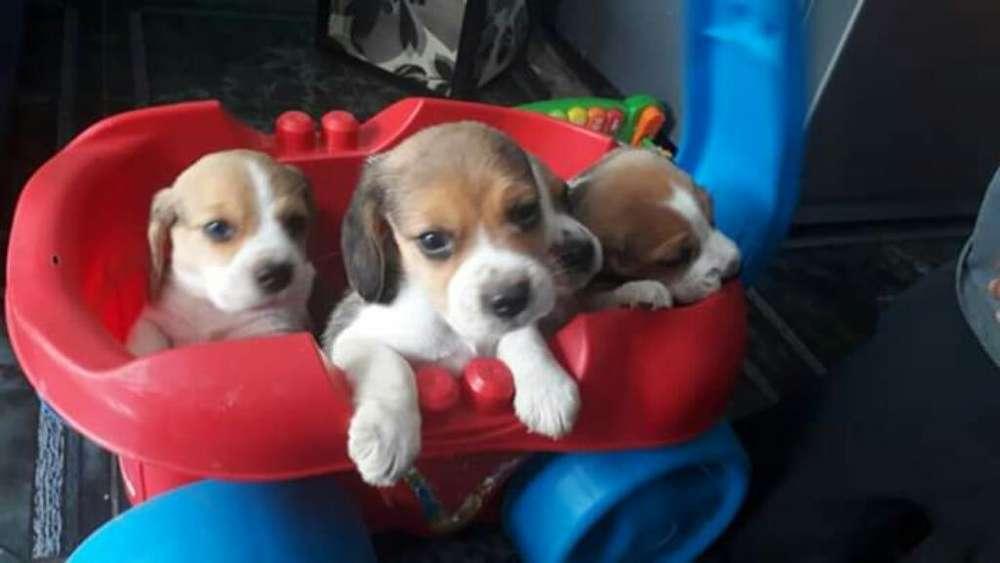 <strong>beagle</strong>s Miniaturas1
