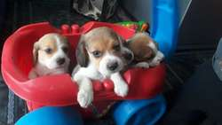Beagles Miniaturas1