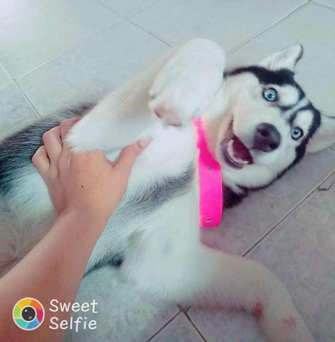 Hermosa Husky Siberiana