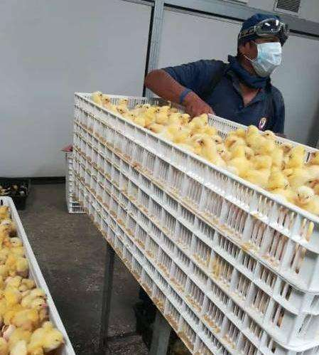 pollos recien nacidos enviamos a tu provincia