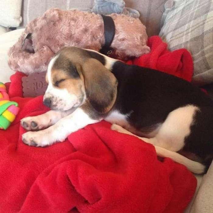 Orejoncitos <strong>beagle</strong>s Ideal