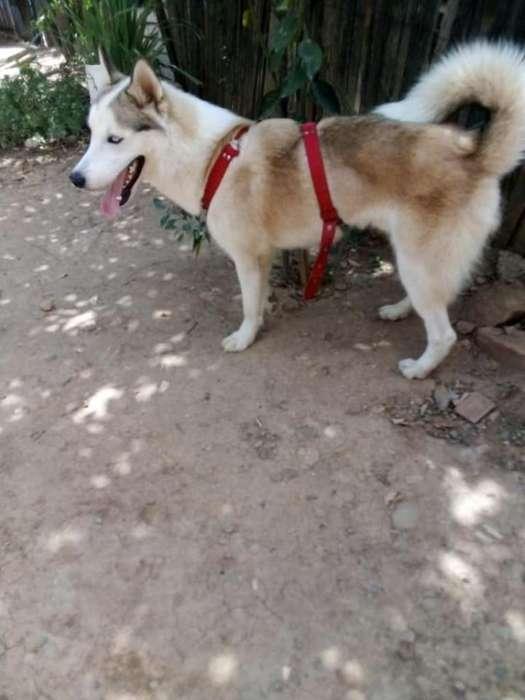 Perro Lobo Siberiano