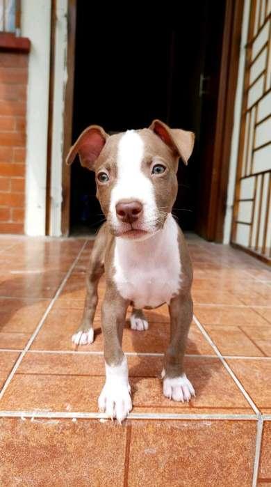 <strong>perro</strong> Pitbull