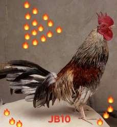 Pollos Y Gallos