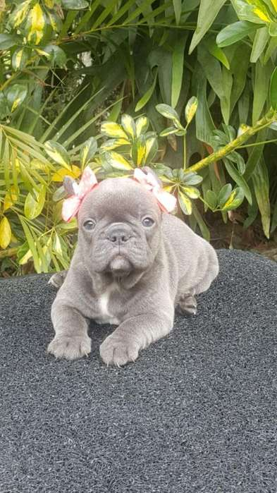 Cachorra Bulldog Francés Blue Sólida Exc