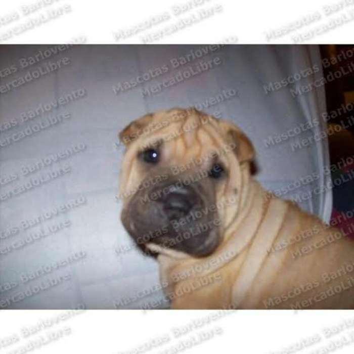 <strong>cachorro</strong>s Sharpei