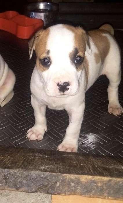 Se Vende Cachorras Pitbull