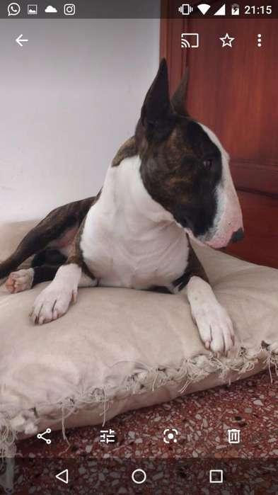 Vendo Camada de Bull Terrier Ingles
