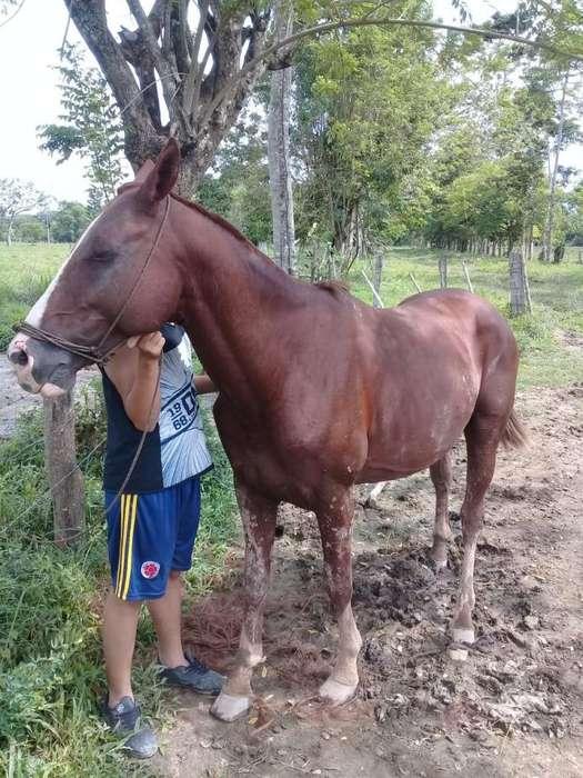 <strong>caballo</strong> cruzado con cuarto de milla