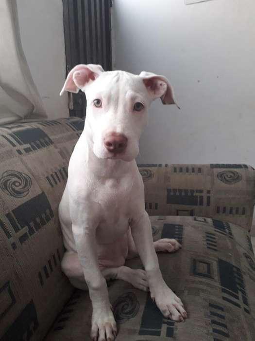 Hermosa Cachorra Pitbull