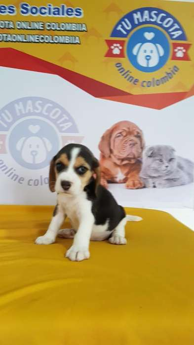 Tremendos <strong>beagle</strong>s Tricolor Incomparable