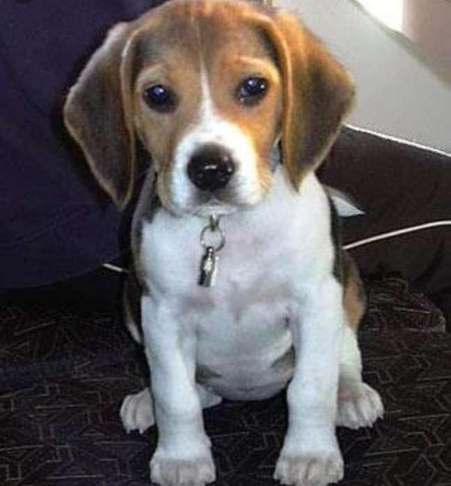 Se Vende Cachorrita <strong>beagle</strong>