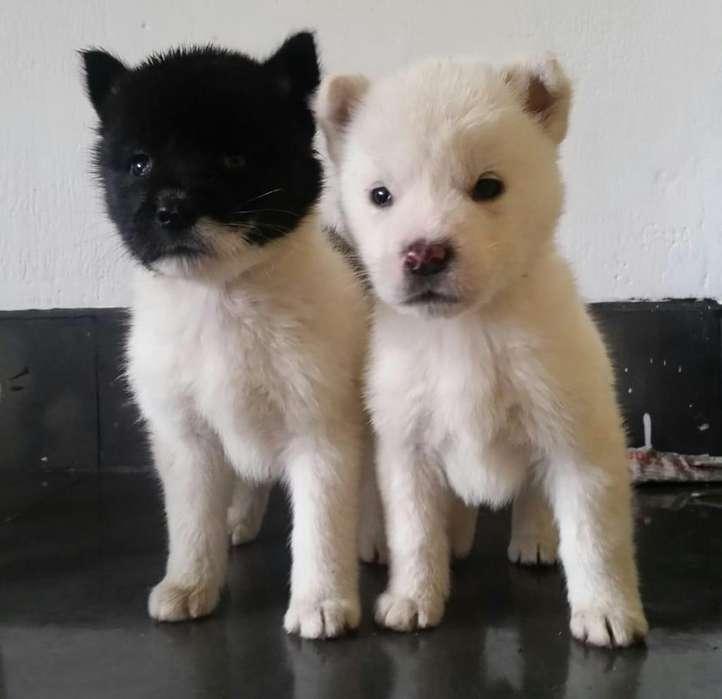 Cachorritos raza Akita Americano