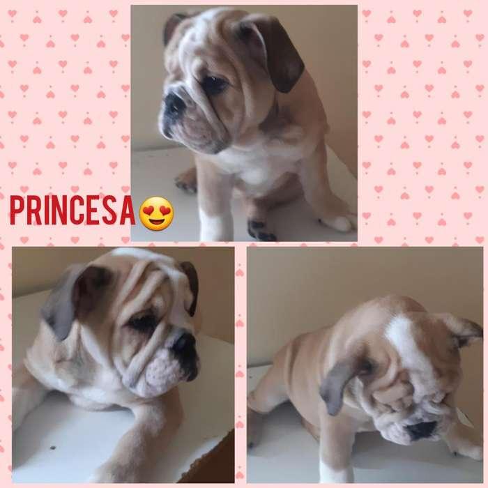 Bulldog ingles x laptop