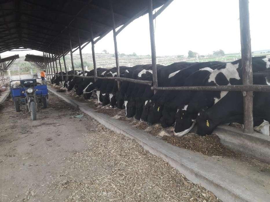 Vendo <strong>vaca</strong>s Lecheras 925814478