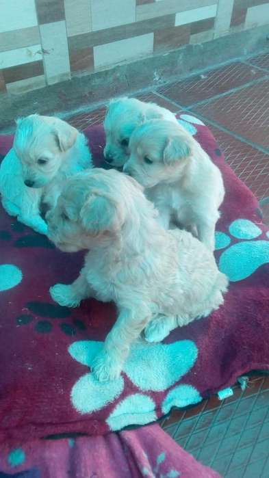 Cachorros French Poodle