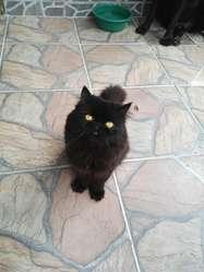 Gato Persa Servicio Reproductor