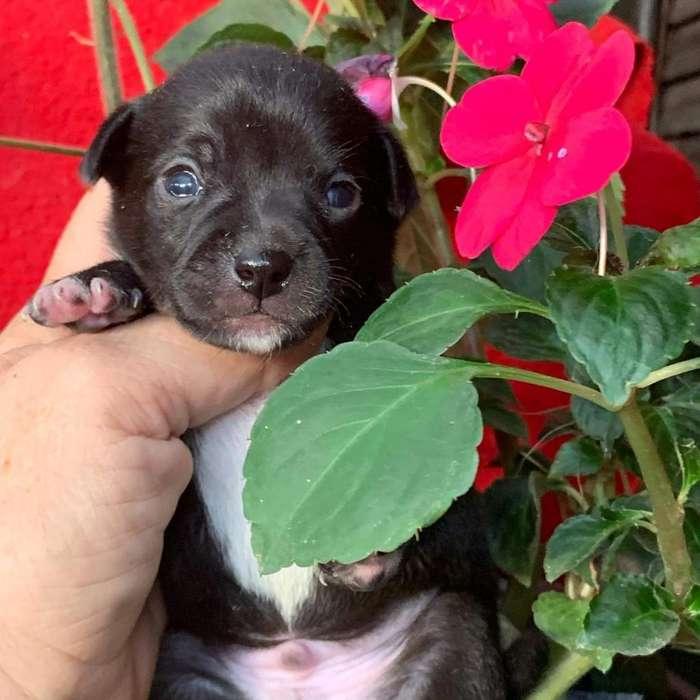 Chihuahuas Puros