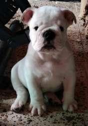 Cachorro Bulldog Ingles.