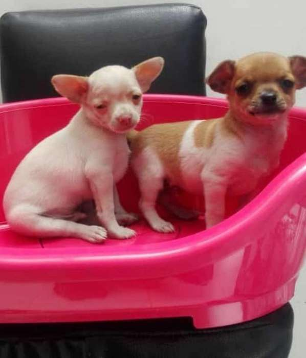 Chihuahua Mexicano Mini